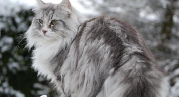 Tekir Değil Norveç Orman Kedisi