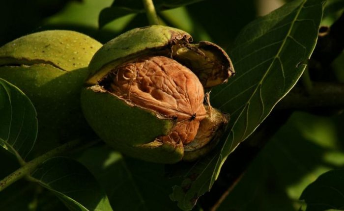 Ceviz Ağacı Hakkında Çok Bilinmeyen 10 Bilgi