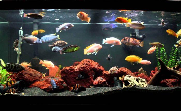 Güzellikleri ile Nam Salan Ciklet Balığı Hakkında 10 Bilgi