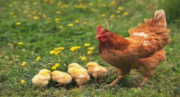 Türkiye'nin Tavuk Stoğu Bitti Ama Mizah Stoğu Bitmedi